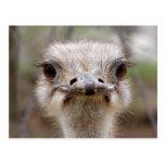 Ostrich face postcard