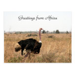ostrich greetings post card