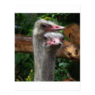 Ostrich Pair Postcard