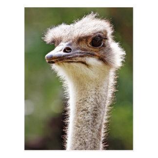 Ostrich! Postcard