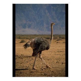 Ostrich Profile Postcard