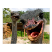 Ostrich What's Up Couple Postcard