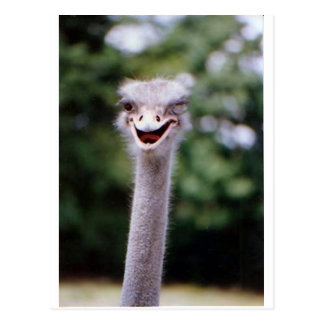 Ostrich Winking - Funny Post Card