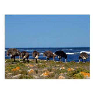 Ostriches postcard