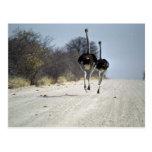 Ostriches running postcard
