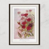 Oswego-Tea Botanical Wildflower Flower Postcard