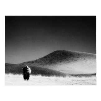 Other common name: buffalo. Wind Cave National Post Card