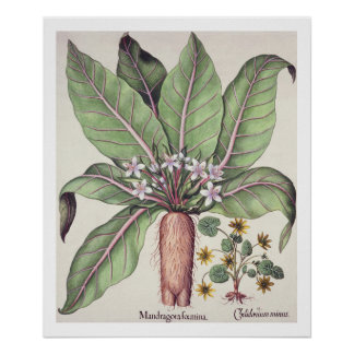 "Otoño Mandrake, del ""Hortus Eystettensis"" cerca Póster"