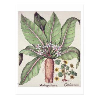 "Otoño Mandrake, del ""Hortus Eystettensis"" cerca Postales"