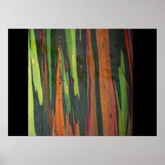 Otro eucalipto del arco iris póster