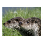 Otters Postcard Post Cards