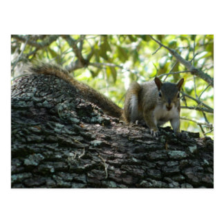 Out on a Limb, Florida Squirrel Picture Postcard