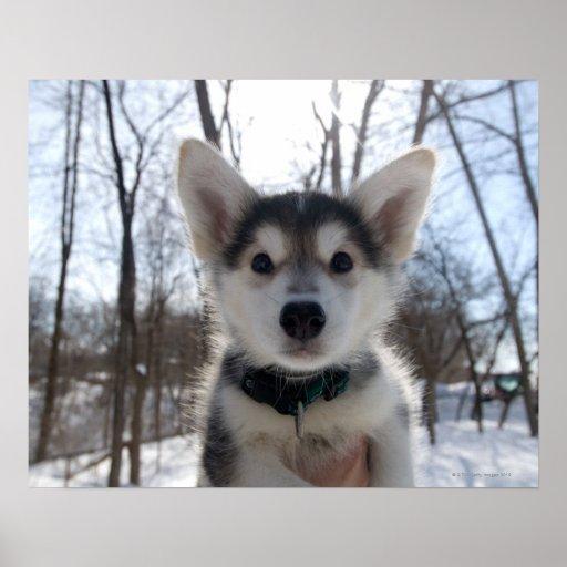 Outdoor portrait of husky dog puppy poster
