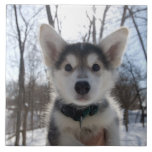 Outdoor portrait of husky dog puppy large square tile