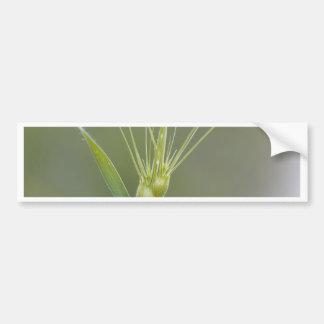 Ovate goatgrass (Aegilops geniculata) Bumper Sticker