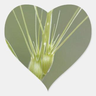Ovate goatgrass (Aegilops geniculata) Heart Sticker