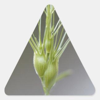 Ovate goatgrass (Aegilops geniculata) Triangle Sticker