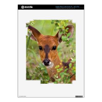 Oveja joven del Bushbuck, parque nacional de iPad 3 Pegatinas Skins