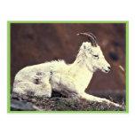 Oveja y cordero de las ovejas de Dall que se acues Tarjetas Postales