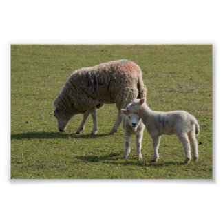 Oveja y corderos poster