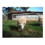 Ovejas blancas en la granja postal