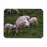 Ovejas con los corderos imanes flexibles