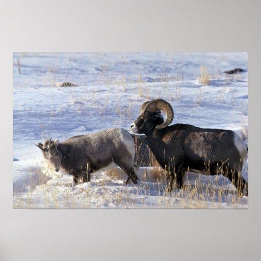 Ovejas de Bighorn (comportamiento de acoplamiento  Posters
