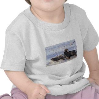 Ovejas de Bighorn (comportamiento de acoplamiento Camiseta