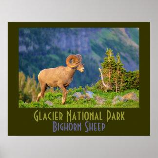 Ovejas de Bighorn del Parque Nacional Glacier Poster
