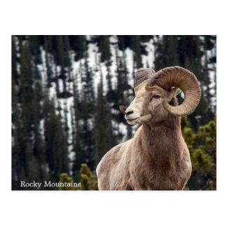 Ovejas de Bighorn - montañas rocosas Postal