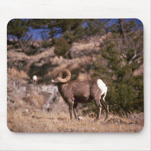 Ovejas de Bighorn Mousepad