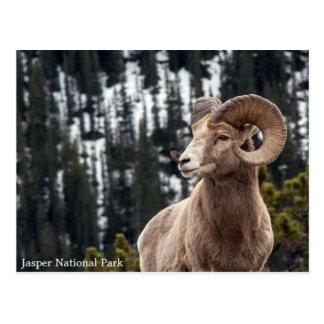 Ovejas de Bighorn - parque nacional de jaspe Postal