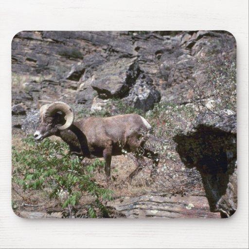 Ovejas de carnero con grandes cuernos de Californi Alfombrilla De Ratón