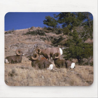 Ovejas de carnero con grandes cuernos de la montañ alfombrilla de raton