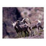 Ovejas de carnero con grandes cuernos del desierto postales