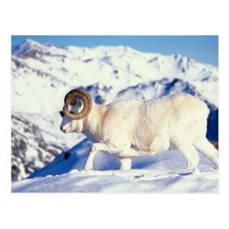 ovejas de dall, dalli del Ovis, espolón lleno del Tarjetas Postales
