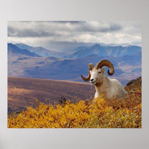 ovejas de dall, dalli del Ovis, espolón que descan Poster