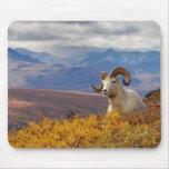 ovejas de dall, dalli del Ovis, espolón que descan Tapete De Ratones