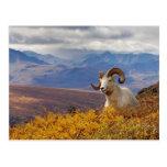 ovejas de dall, dalli del Ovis, espolón que descan Tarjetas Postales