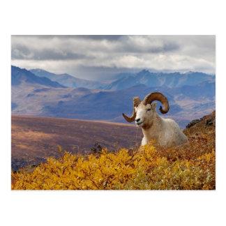 ovejas de dall dalli del Ovis espolón que descan Tarjetas Postales
