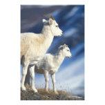 ovejas de dall, dalli del Ovis, oveja y cordero en Fotografías