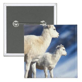 ovejas de dall, dalli del Ovis, oveja y cordero en Pin Cuadrada 5 Cm