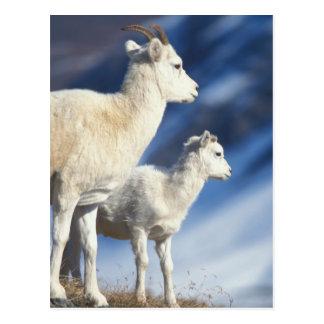 ovejas de dall, dalli del Ovis, oveja y cordero en Postal