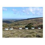 Ovejas de Dartmoor Tarjeta Postal