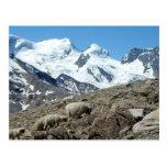 Ovejas de montaña en las montañas suizas -- Postal
