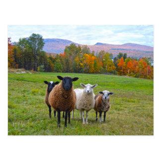 Ovejas de Vermont en otoño Tarjeta Postal