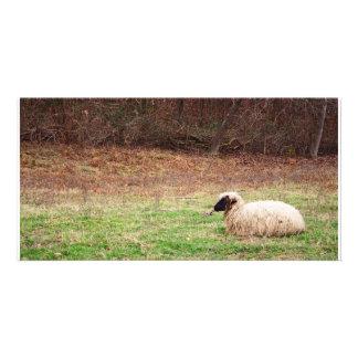 Ovejas en el prado - fotografía de la naturaleza d tarjeta fotográfica