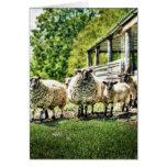 Ovejas en las tarjetas de la granja