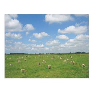 Ovejas en postal del prado
