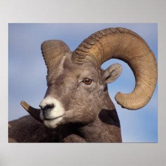 ovejas grandes del cuerno ovejas de montaña cana poster